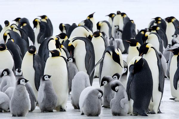 Почему перья пингвинов непокрываются льдом: сейчас понятно