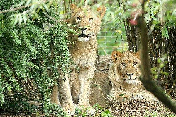 ВГермании два льва убежали иззоопарка