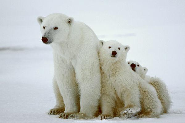 Polar bear face black and white