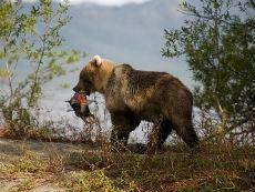 Камчатский медведь с рыбой (нерка).  На берегу озера Азабачье (Ажабачье).