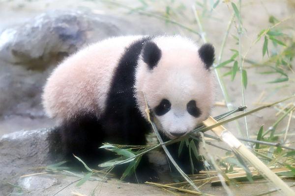 ВТокио публика впервый раз смогла увидеть шестимесячную панду Сян Сян