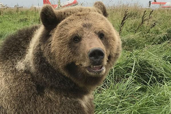 Медведь напал на любителя селфи в центре Архангельска
